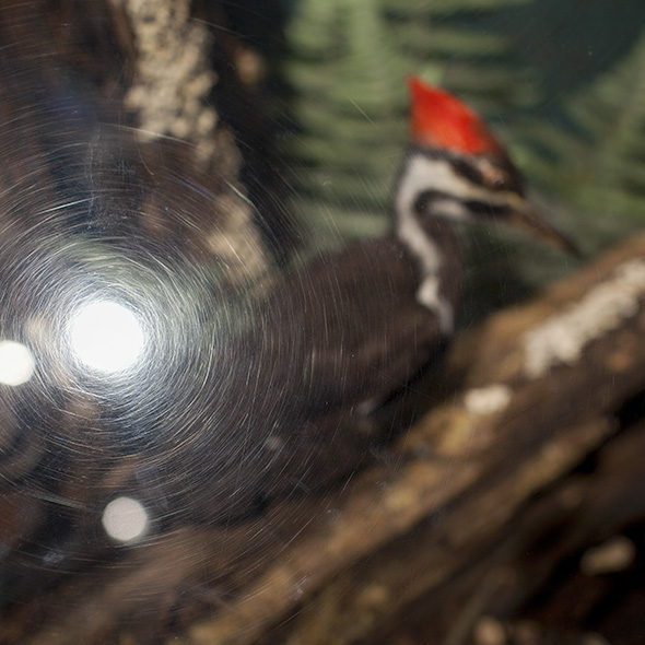 Pileated Woodpecker, Jackson, 2012